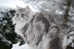 Handsome, snow tipped Norwegian Forest Cat - Norsvana