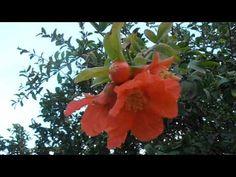 GRANADO: Punica granatum (http://www.riomoros.com) - YouTube