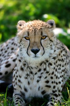 Cheetah at Tanganyika Wildlife Park Photo by jobar67212(JR) on Flickr