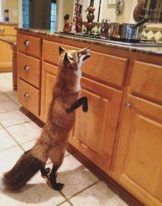 Meet Juniper, The Orange Pet Fox That Can't Stop Smiling
