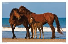 Corolla, Outer Banks, NC Wild Horses Been there to Assategue Is. Majestic Horse, Beautiful Horses, Animals Beautiful, South Carolina, North Carolina Homes, Chincoteague Ponies, Outer Banks Vacation, Wild Mustangs, Wild Horses