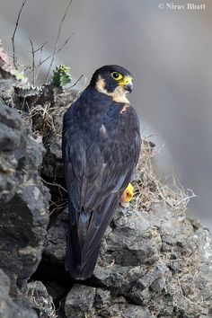 Indian Peregrine Falcon locally called the Black Shaheen - Adult Female (Falco peregrinus peregrinator)