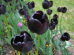Drama! Black Tulips #blacktulips #drama