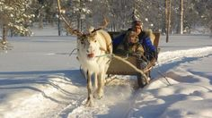 The reindeer is an icon of Finnish Lapland, and sleigh rides are a great way of experiencing the Arctic wilderness. Meet Santa, Reindeer And Sleigh, Lapland Finland, Snowy Forest, My Family History, Beautiful Places In The World, Reno, Fairy Land, Before Us