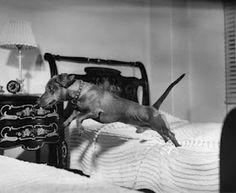 Leap year dachshund