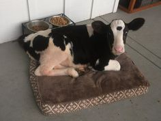 Cute Baby Cow, Cute Baby Animals, Animals And Pets, Funny Animals, Farm Animals, Lil Baby, Pet Cows, Baby Cows, Fluffy Cows