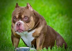 Extreme Build Pocket American Bully Kennels | ABKC Champion American Bullies | Top American Bully Kennels | Best American Bully Breeders, Puppies For Sale American Bully Kennels, American Bullies, Funny Animal Videos, Funny Animals, Wild Animals, Baby Animals, Cute Animals, Pocket Bully, Funny Cat Photos