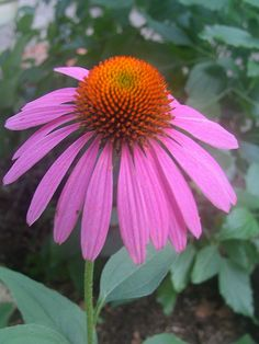 Cone Flower by crazyBobcat, via Flickr