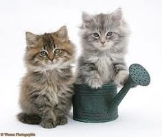 maine coon kittens - Google Search