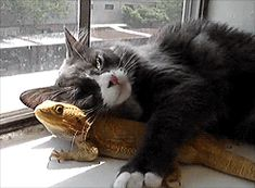 Cat and Lizard Cuddling in the Sun. Theirs was a forbidden love.. lizard, cute, Cats, Animals, gif