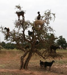 goats in trees | Goats in trees Agadir Morocco | Flickr - Photo Sharing!