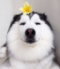 Meet Maru, The Happiest Husky In The World That Is Secretly A Panda - Tap the pin for the most adorable pawtastic fur baby apparel! You'll love the dog clothes and cat clothes! <3