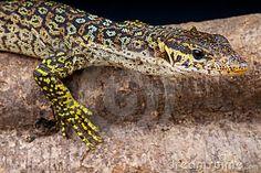 Peacock monitor lizard >>>ew55