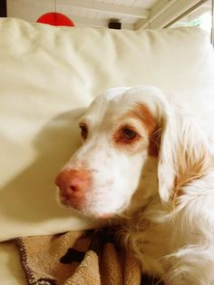 Mac... my sweet Orange Belton English Setter ...surrounded by love