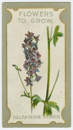 Delphinium hybrid (Larkspur). From New York Public Library Digital Collections.