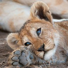 Wild Animals Pictures, Cute Wild Animals, Cute Little Animals, Cute Animal Pictures, Cute Funny Animals, Animals Beautiful, Animals And Pets, Lion Photography, Wild Animals Photography