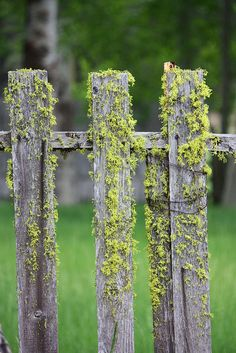 You know a picket fence is old when it's been there long enough to collect moss.