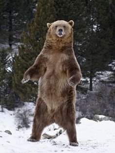 Grizzly Bear (Ursus Arctos Horribilis) Standing in the Snow, Near Bozeman, Montana, USA Fotodruck von James Hager bei AllPosters.de