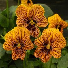 Angel Tiger Eye viola seeds - Garden Seeds - Annual Flower Seeds