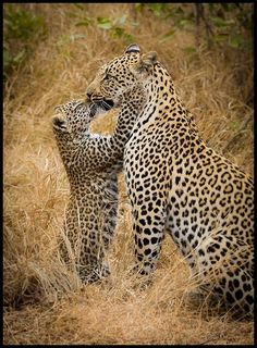 Tlangisa and her cub from Savanna Private Game Reserve, South Africa #Safari2Africa