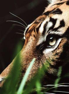 A Male Sumatran Tiger. (Photo By: Daneille Kiemel. Beautiful Cats, Animals Beautiful, Beautiful Beach, Regard Animal, Animals And Pets, Cute Animals, Nature Animals, Wild Animals, Gato Grande