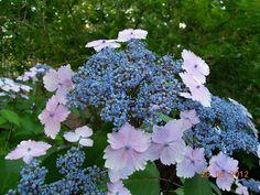 Endless Summer Hydrangea Lace Cap  Heavenly'