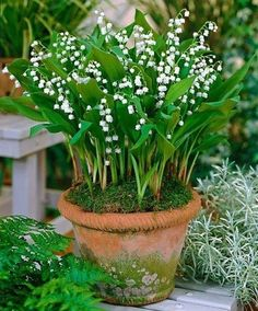 Lily of the valley in mossy pot - we have thousands we can replant as such for the patio