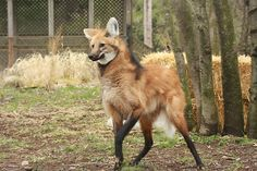 maned wolf drawings - Google Search