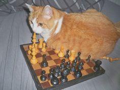 Checkmate. Kitty wins.   via: http://more.pet/2a9wdhe