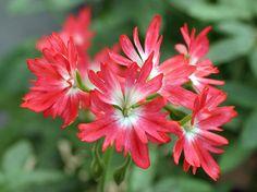 Dwarf Zonal Geranium 'Strawberry Fayre' (Pelargonium x hortorum)