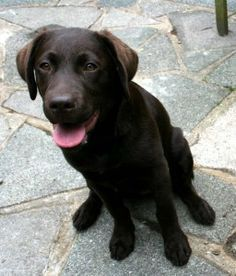 Ages and stages in Labrador puppy training - The Labrador Site #DogObedienceTipsandAdvice