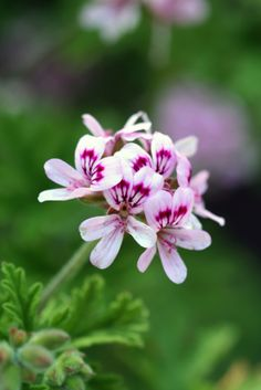 L'huile essentielle de géranium rose est spécialement utile pour les soins de la peau. Son action hémostatique et cicatrisante la rend efficace pour soigner les plaies, les coupures, les vergetures et les brûlures.