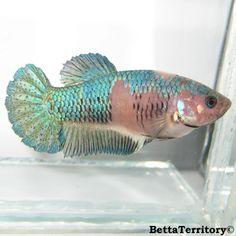 Blue Marble Halfmoon Plakat female betta