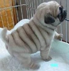 puglet!!! :D look at those rolls!