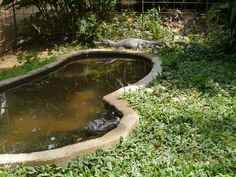 Los dos caimanes en su recinto. Ellos encantan se relajan en la agua.