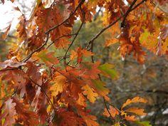 My backyard oak.
