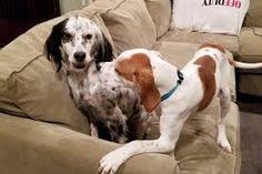 αιρισ σεττερ - Αναζήτηση Google Google, Dogs, Animals, Animales, Animaux, Animal Memes, Animal, Pet Dogs, Dog