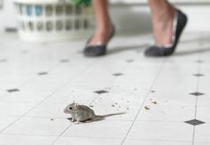 How To........ Catch a Mouse! https://www.bobvila.com/articles/how-to-catch-a-mouse/?