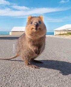 Reptiles, Australian Beach, Quokka, San Diego Zoo, Brown Bear, Habitats, National Parks, Cute Animals, Wildlife