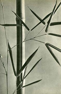 Bambous, 1935 Hein Gorny