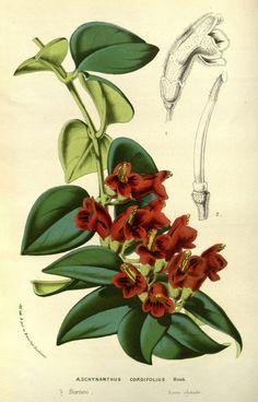 """Æschynanthus cordifolius, Hook. -- """"Flore des serres et des jardins de l'Europe"""", v.14 (1861), by Louis van Houtte"""