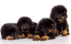 Download wallpapers 4k, Tibetan Mastiff, puppies, dogs, pets, fluffy puppy, Canis lupus familiaris, cute animals