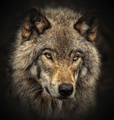Close up of Timber Wolf . Photo by Margaret Krzepkowski — National Geographic Your Shot