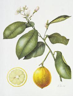 Citrus bergamot watercolor by Margaret Ann Eden.