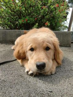 CLASSIC GOLDEN RETRIEVER LOOK ~> I'M FEELING A LITTLE SAD.  MAY I HAVE A TREAT NOW?  <3<3<3<3<3<3<3