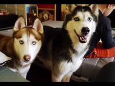 "Mishka the Talking Husky says ""Open the Door""! - YouTube"