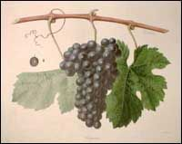 Carignan (Carignane) Grapes    Carignan originated in Spain probably near the town of Cariñena in Aragon. It first appeared in the Pyrenées Orientales region of France in the Twelfth Century, and later expanded into Mediterranean France.