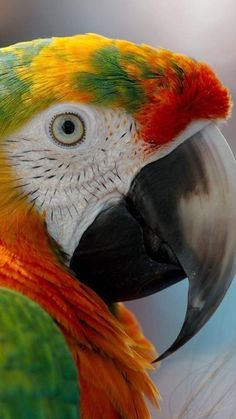 -You can find Exotic birds and more on our website. Tropical Birds, Exotic Birds, Colorful Birds, Exotic Pets, Pretty Birds, Beautiful Birds, Animals Beautiful, Puffins Bird, Tier Fotos