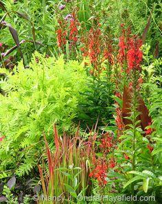 Cardinal flower (Lobelia cardinalis) and Japanese blood grass (Imperata cylindrica 'Rubra') with Tanacetum vulgare 'Isla Gold'; Nancy J. Ondra at Hayefield
