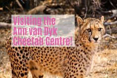 Visiting the Ann Van Dyk Cheetah Centre - Hartbeespoort, South Africa Africa Travel, Cheetah, South Africa, Van, Family Holiday, Centre, Africa Destinations, Vans, Cheetahs